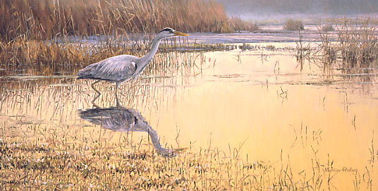 grey heron print - canvas print by Martin Ridley