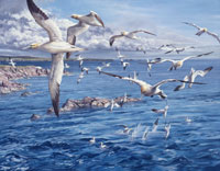 Northern Gannets Print - Reproduced from a bird painting by Martin Ridley