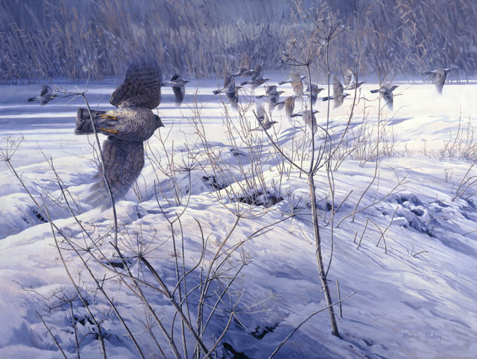 Falconry sparrowhawk prints - sparrowhawk chasing fieldfares print