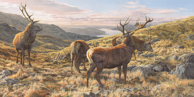 Red deer stags above Loch Sunart, West Coast of Scotland