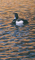 Limited edition prints - wildlife art: print of tufted duck - limited edition of 450 prints