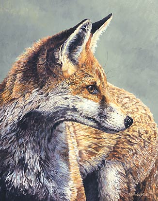 The youngster, red fox - wildlife art print: limited edition print of a young red fox