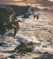 gannets print: wildlife art prints by Martin Ridley - gannets, heading out