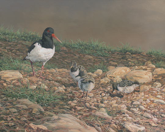 oystercatcher with chicks - oil painting by Martin Ridley