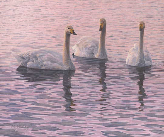 whooper swans picture - painting by Martin Ridley