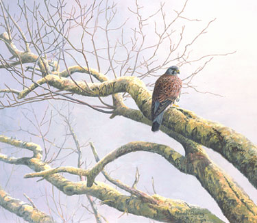 Kestrel picture - painting of a kestrel