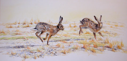 pictures of brown hares chasing