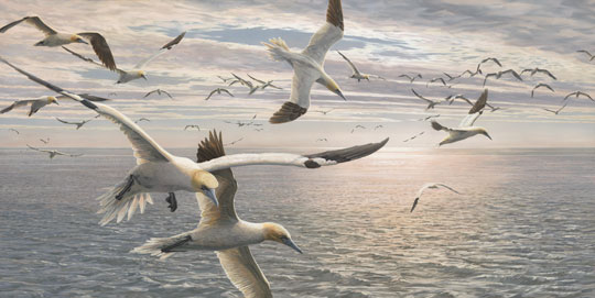 gannets - original oil painting