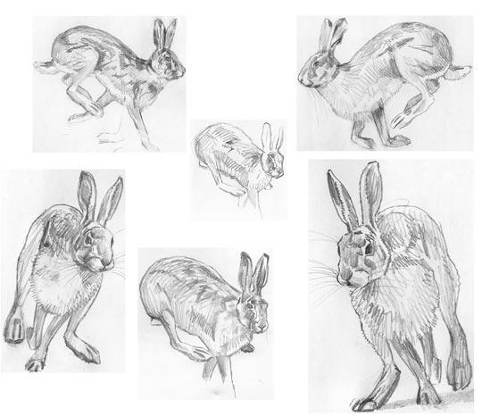 brown hare sketches