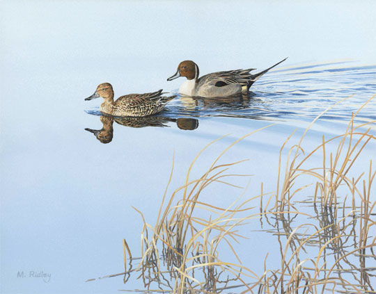 A pair of pintail ducks swimming on still water. An original oil painting of ducks by Martin Ridley