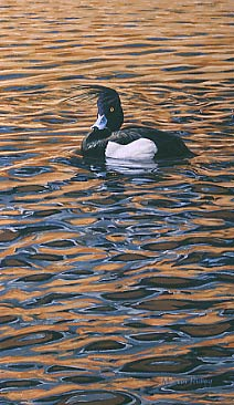 Limited edition prints -wildlife art: print of tufted duck - limited edition of 450 prints