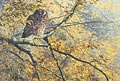 tawny owl print - picture of a tawny owl
