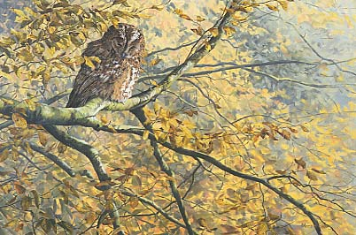tawny owl, Strix aluco picture - original bird painting: wildlife art by Martin Ridley