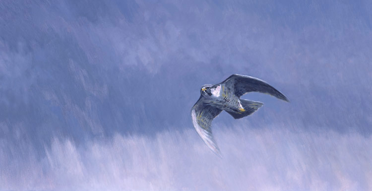 picture of a stooping peregrine falcon - peregrine in flight print