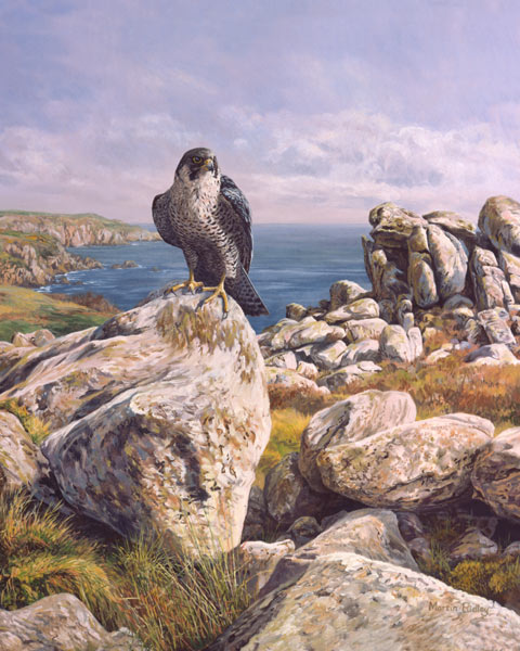 Picture of a peregrine falcon - Pembrokeshire coastal peregrine perched on a cliff-top