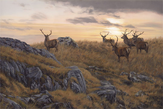 Small herd of red deer stags at sunset