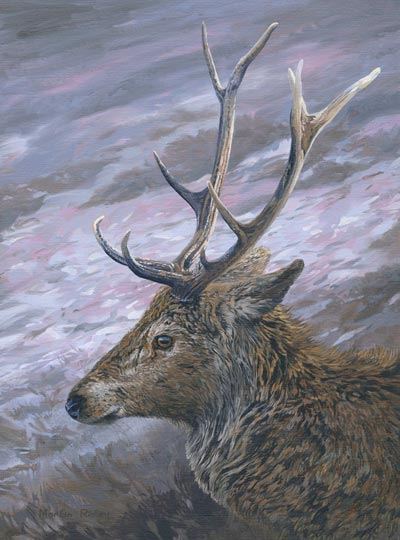 Red deer stag head study - oil painting