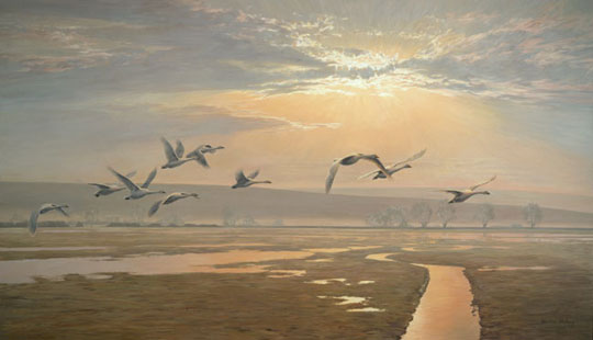 Corporate art commissions, wildlife painting: Flight of Bewick's Swans by Martin Ridley can be seen at the Wildfowl & Wetlands Trust, Slimbridge